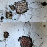 La foto muestra una seccion basal de un cristal de anfibol, notese la exfoliación en forma de rombo, cuyo pleocroismo oscila entre el pardo amarillento (zona superior) al  marron rojizo (zona inferior). Debo decir que al tratar de identificar este mineral y revisando la informacion concerniente a anfiboles (Nesse, 2004) me incline por la kaersutita, ya que el pleocroismo reportado por dicho autor se corresponde con el mostrado en la foto, mientras que para la richterita se mencionan el amarillo, verde palido, naranja, tonos de rojo y hasta violeta o azul. Dado que los estudios petrográficos en la zona (Cancarix, La Celia) mencionan la presencia de richterita y no de kaersutita habría que descartar a este último (o realizar nuevos análisis). (Autor: Vinoterapia)