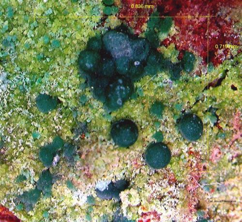 Malaquita y Conicalcita.<br />Mina del Barranco del Pollo, Huércal de Almería, Comarca Metropolitana de Almería, Almería, Andalucía, España<br />0´836 x 0´719 mm.<br /> (Autor: Jesus Franquesa Baucells)