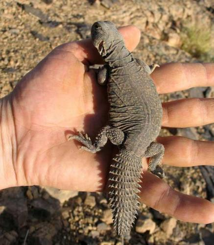 A este pre-fósil de iguana le faltan unos añitos. Fot. K. Dembicz. (Autor: Josele)
