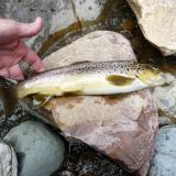 Another Brown trout. (Author: Pierre Joubert)