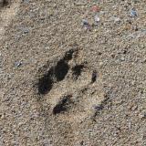 La arena de la playa esta formada principalmente por bioclastos (restos de conchas de moluscos, restos de equinodermos, esqueletos externos de briozoos, espículas de esponja, etc.) con pequeñas cantidades de clastos terrígenos de pequeño tamaño entre los que predomina claramente el cuarzo. (Autor: Jesús López)