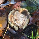 6 cm. quartz on fungus. (Author: vic rzonca)