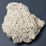 Caliza numulítica, 7,5x7,5x3 cm. Muestra antigua recogida a finales de los años 70. Actualmente la recogida de fósiles está prohibida. (Autor: Frederic Varela)