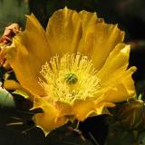 The prickly pear cactus was blooming at the edge of the Sickenius mine. (Author: Paul Bordovsky)