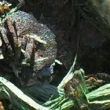 Rosa de Hematites entre Ferropargasitas.  Minas de Cala, Cala, Huelva, España Este grupo de Hematites mide 1 cm. (Autor: Laureano)