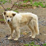 Canino del Alto Atlas. G. Sobieszek photo. (Autor: Josele)
