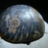 Ammonite 2.8cm x 2.9cm (Author: trtlman)