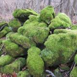 Part of a old stone wall at the site. Moss seems to love the dolostone. (Author: vic rzonca)