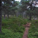 The footpath weaves through a carpet of bilberry (blueberry) and heather between the Caledonian Pines. A remnant of the ancient forest which once was far more extensive than it is today. (Author: Mike Wood)