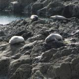 At least the local seals were happy. Seemed a shame to disturb them by making a noise, so I didn't.  There wasn't much to collect anyway, and time is very limited at this locality because of the tide.  As the saying goes - 'time and tide wait for no-one'. (Author: Mike Wood)