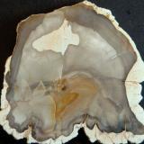 Xilópalo Madagascar 6,5 x 6,5 x 0,5 cm. (Autor: Felipe Abolafia)