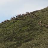 Ben Loyal, Sutherland, Scotland I spotted this herd of red deer, about eighty strong, running up the hill about 300m away. That was pretty cool. That reminds me - the whole area is full of deer ticks!! (Author: Mike Wood)