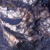 Fosforita Mina Las Camelias, Puerto de las Camellas, Cáceres capital, Extremadura, España 12 x 6 cm Detalle de una parte seccionada donde puede observarse el orificio central, en este caso relleno de óxidos de manganeso, similar al de las estalactitas. (Autor: Cristalino)