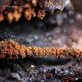 Lepidocrocita<br />Coto Minero El Conjuro, Busquístar, Comarca Alpujarra Granadina, Granada, Andalucía, España<br />Encuadre 8 x 6 mm<br /> (Autor: Rafael Galiana)